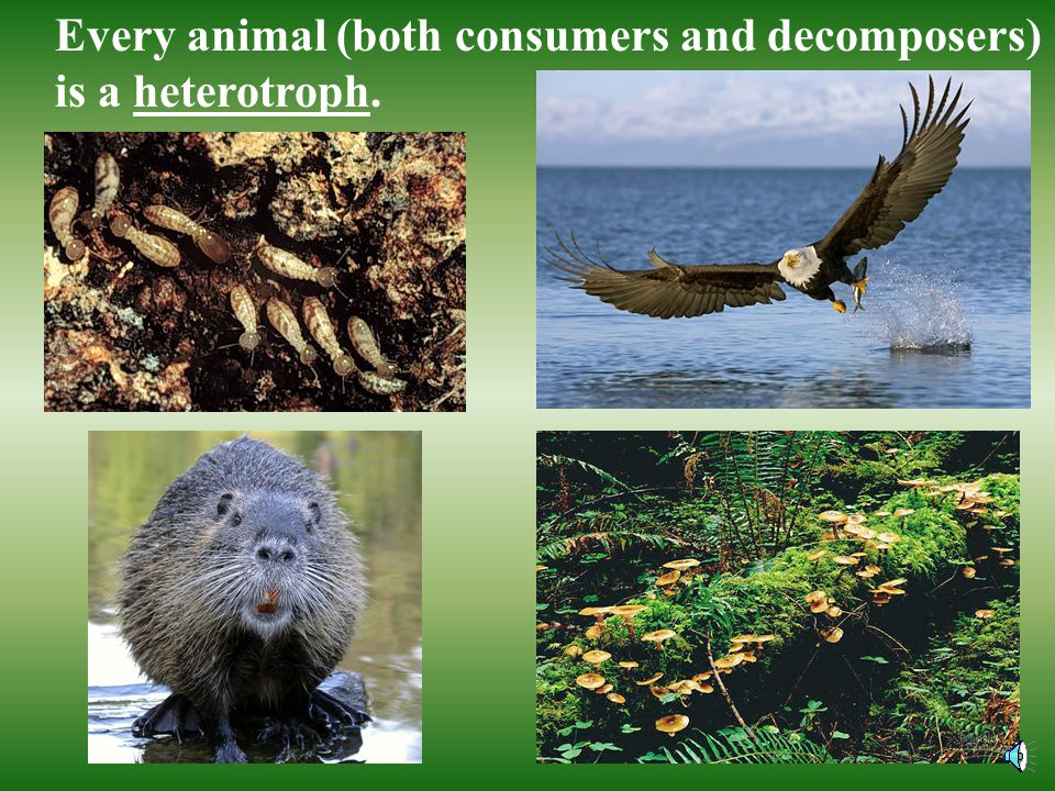 Every animal (both consumers and decomposers) is a heterotroph.