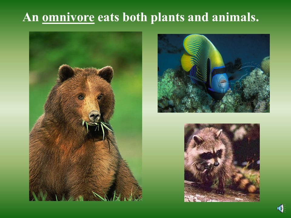 An omnivore eats both plants and animals.