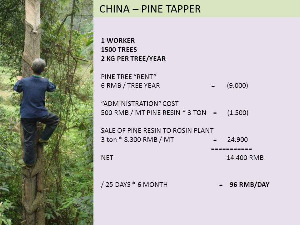 CHINA – PINE TAPPER 1 WORKER 1500 TREES 2 KG PER TREE/YEAR