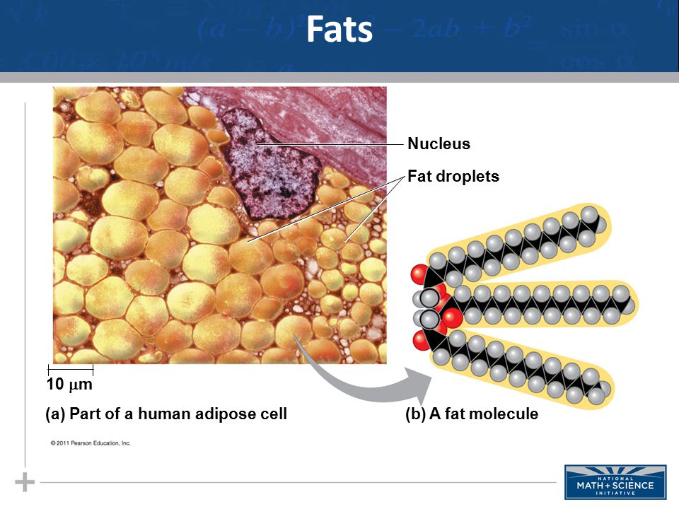 Fats Nucleus Fat droplets 10 m (a) Part of a human adipose cell