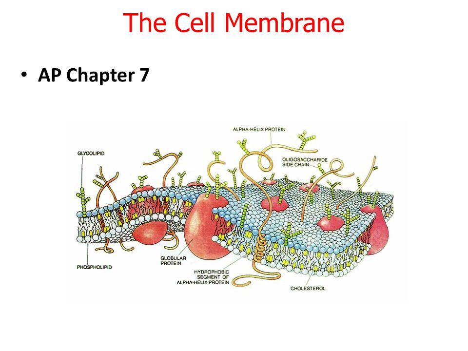 The Cell Membrane AP Chapter 7