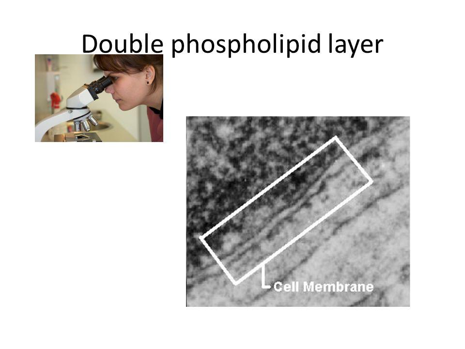 Double phospholipid layer