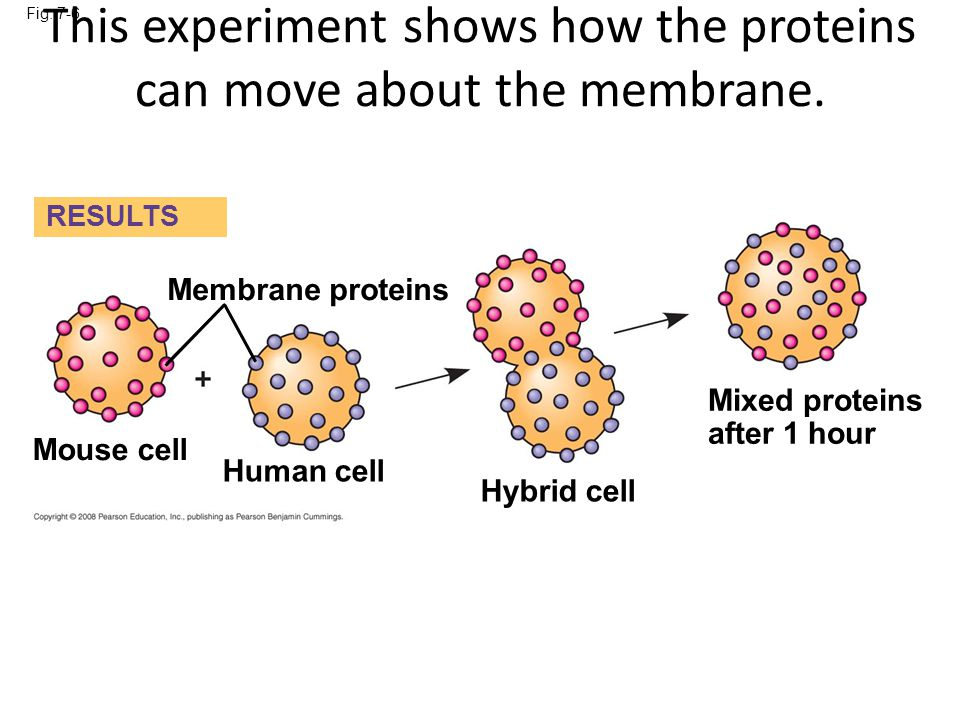 This experiment shows how the proteins can move about the membrane.