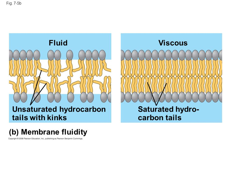 Unsaturated hydrocarbon tails with kinks Saturated hydro- carbon tails