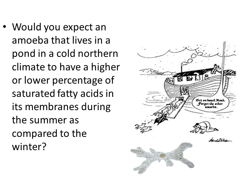Would you expect an amoeba that lives in a pond in a cold northern climate to have a higher or lower percentage of saturated fatty acids in its membranes during the summer as compared to the winter
