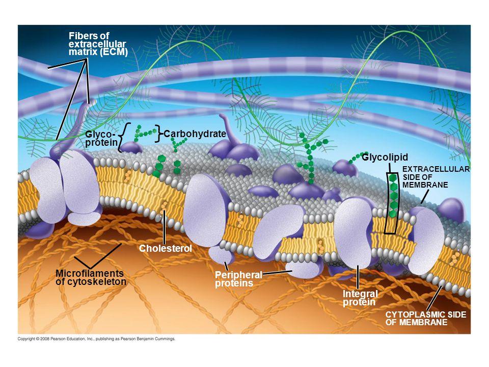 Fig. 7-7 Fibers of extracellular matrix (ECM) Glyco- Carbohydrate