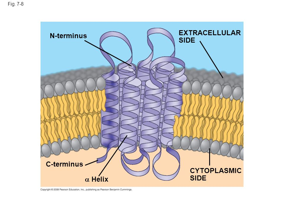 EXTRACELLULAR N-terminus SIDE C-terminus CYTOPLASMIC SIDE  Helix