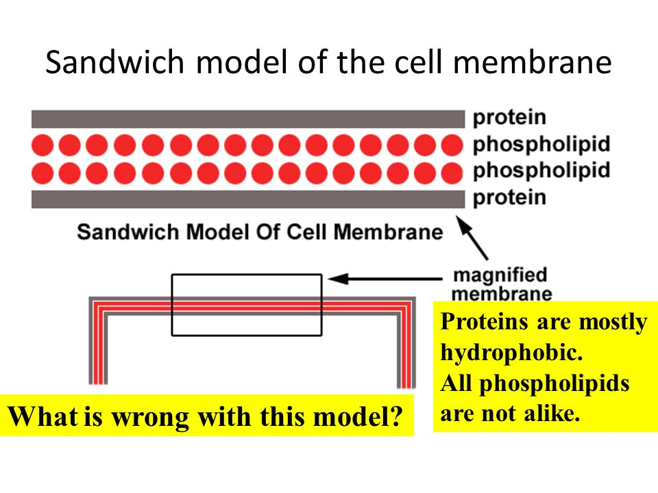 Sandwich model of the cell membrane