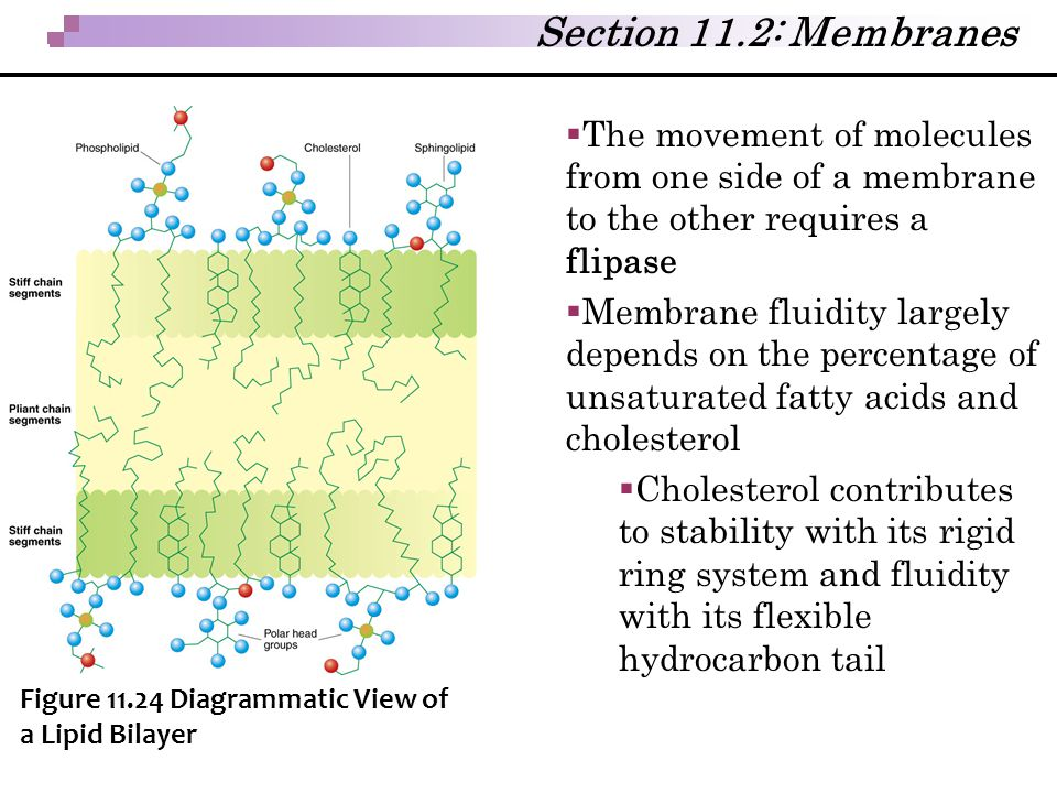 Section 11.2: Membranes The movement of molecules from one side of a membrane to the other requires a flipase.