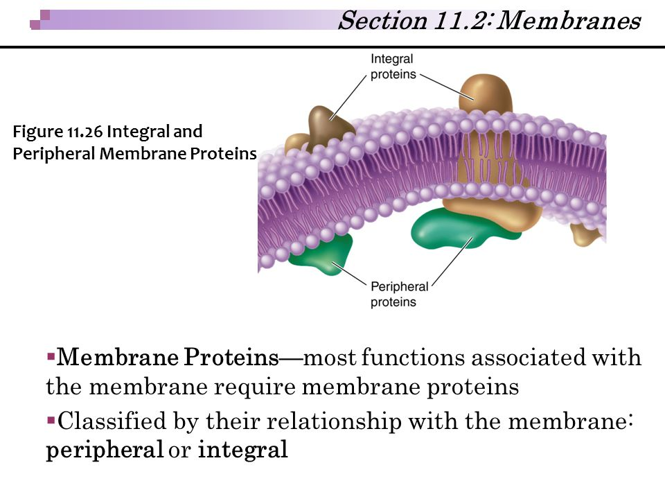 Section 11.2: Membranes Figure 11.26 Integral and Peripheral Membrane Proteins.