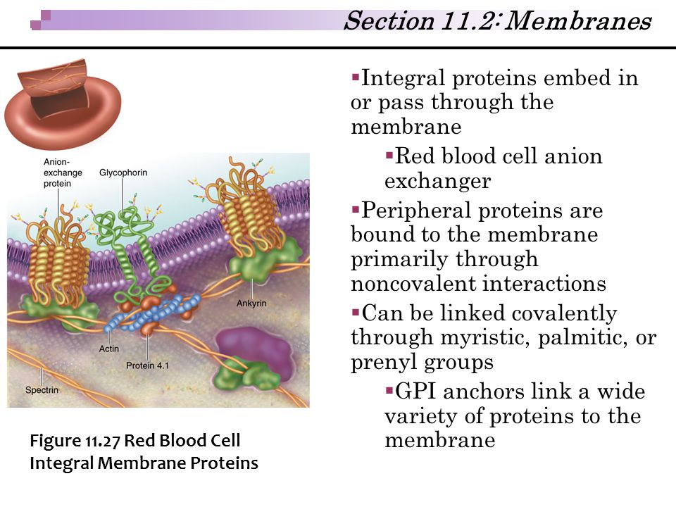 Section 11.2: Membranes Integral proteins embed in or pass through the membrane. Red blood cell anion exchanger.