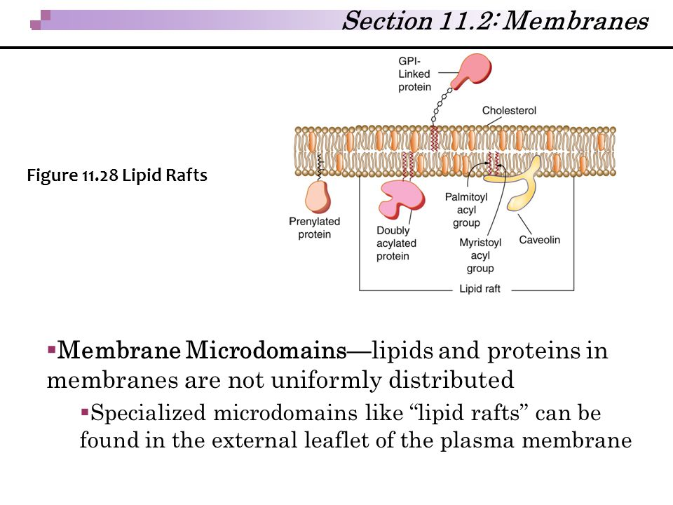 Section 11.2: Membranes Figure 11.28 Lipid Rafts. Membrane Microdomains—lipids and proteins in membranes are not uniformly distributed.