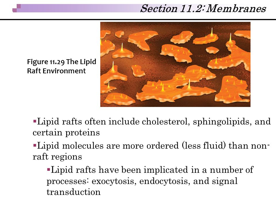 Section 11.2: Membranes Figure 11.29 The Lipid Raft Environment. Lipid rafts often include cholesterol, sphingolipids, and certain proteins.
