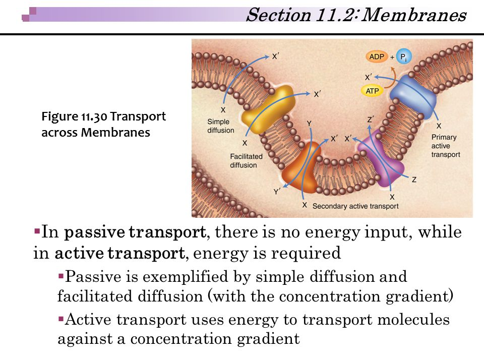 Section 11.2: Membranes Figure 11.30 Transport across Membranes.