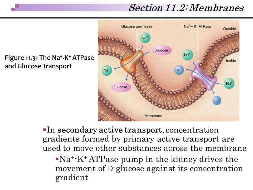 Section 11.2: Membranes Figure 11.31 The Na+-K+ ATPase and Glucose Transport.