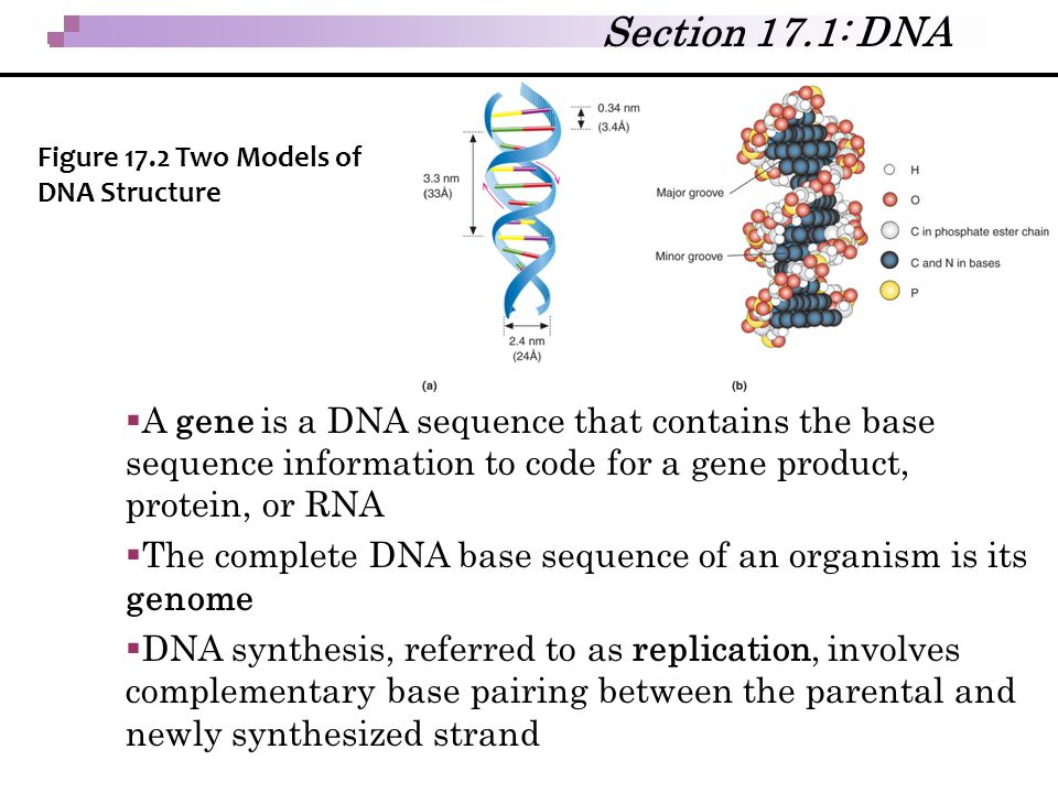 Section 17.1: DNA Figure 17.2 Two Models of DNA Structure.