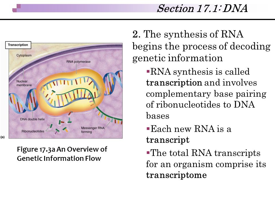 Section 17.1: DNA 2. The synthesis of RNA begins the process of decoding genetic information.