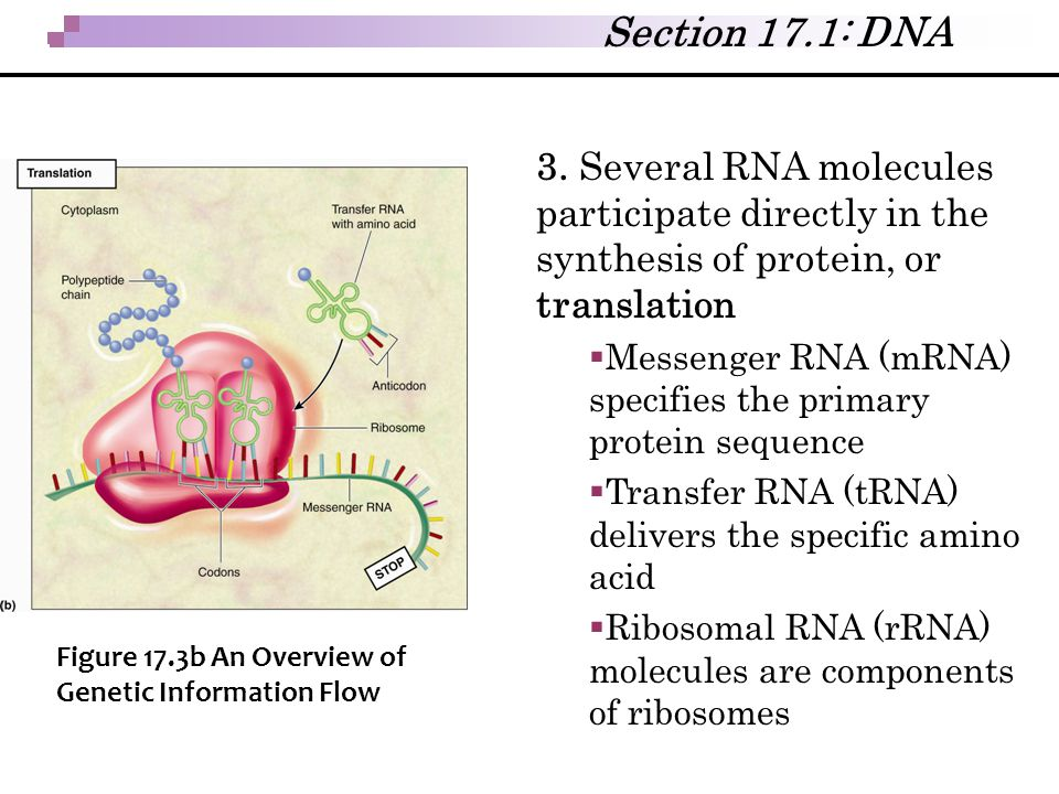 Section 17.1: DNA 3. Several RNA molecules participate directly in the synthesis of protein, or translation.