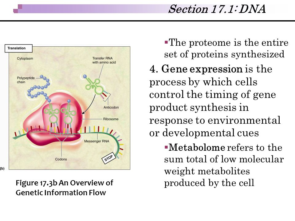 Section 17.1: DNA The proteome is the entire set of proteins synthesized.