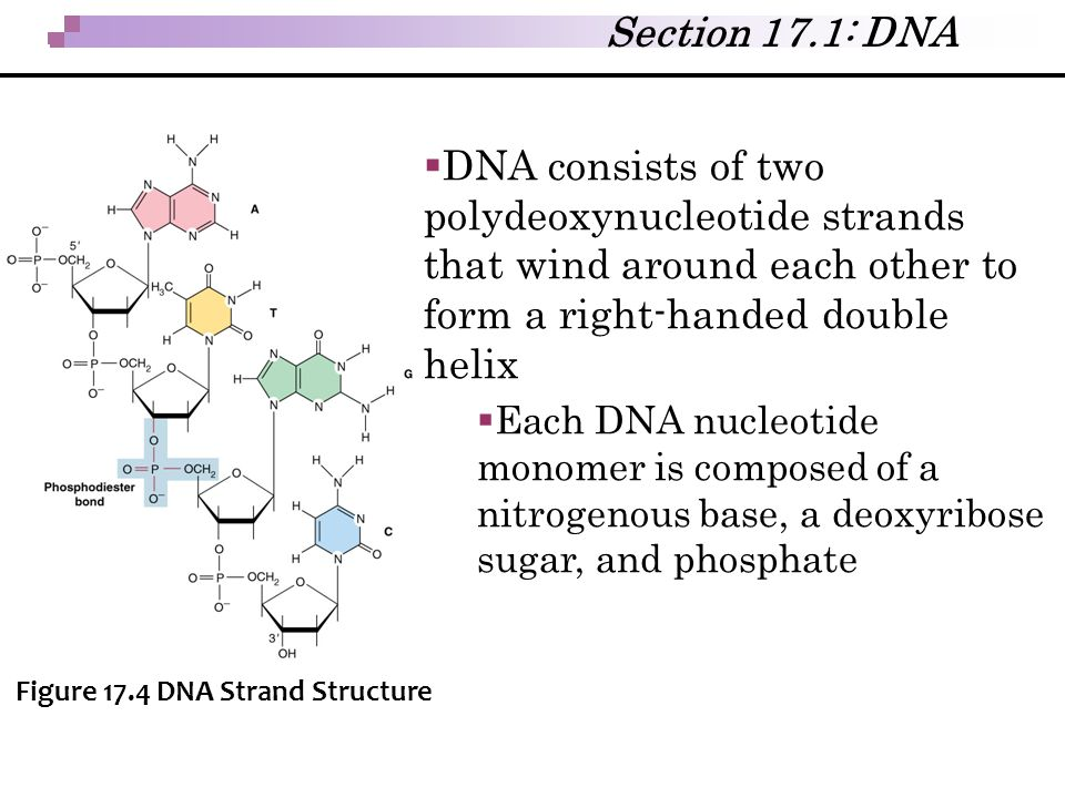Section 17.1: DNA DNA consists of two polydeoxynucleotide strands that wind around each other to form a right-handed double helix.