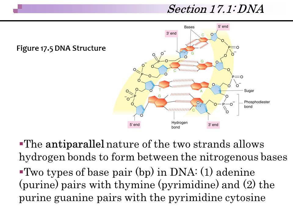 Section 17.1: DNA Figure 17.5 DNA Structure. The antiparallel nature of the two strands allows hydrogen bonds to form between the nitrogenous bases.