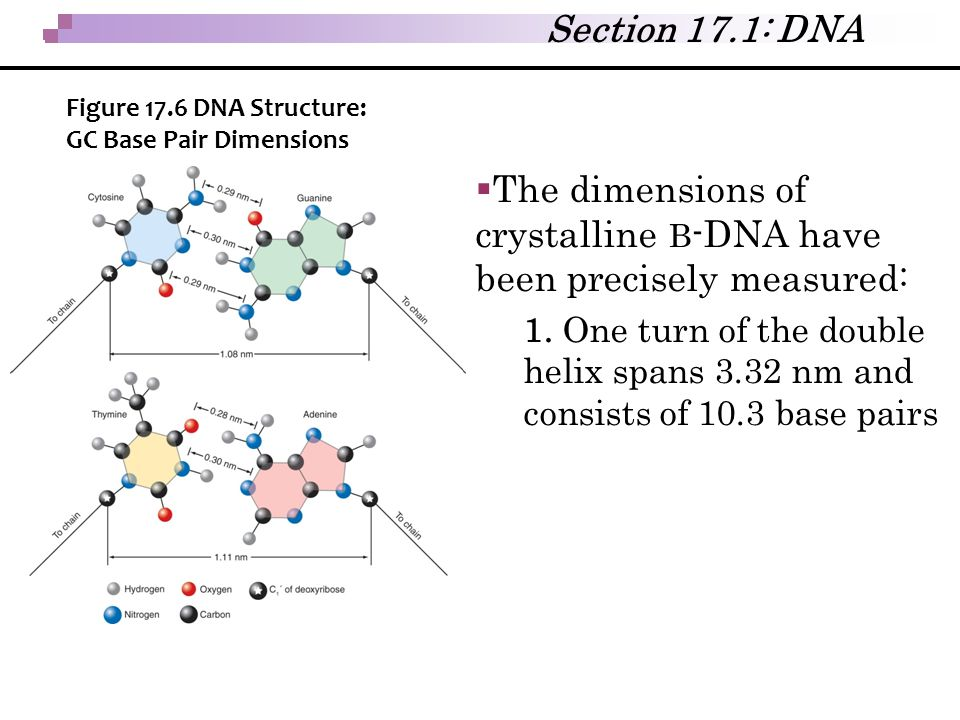 The dimensions of crystalline B-DNA have been precisely measured: