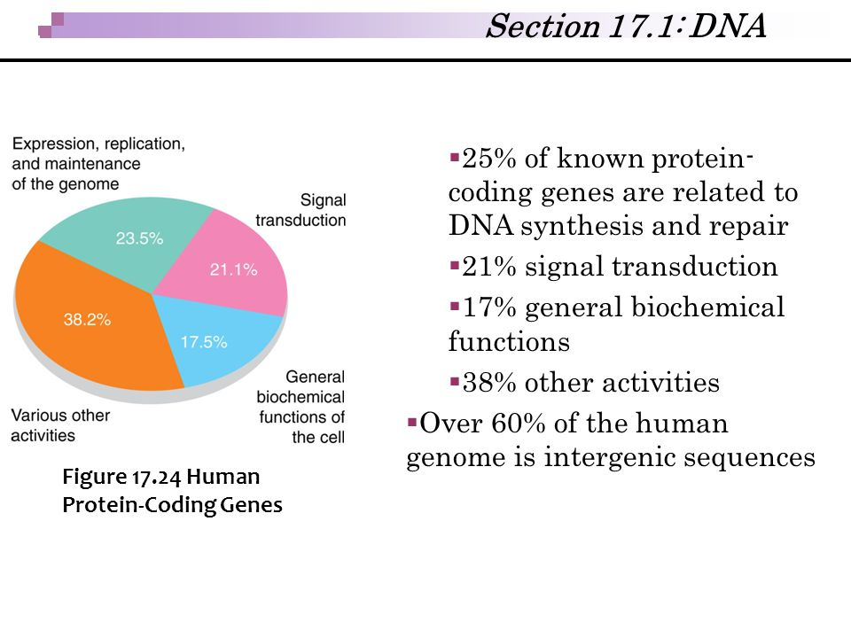 Section 17.1: DNA 25% of known protein-coding genes are related to DNA synthesis and repair. 21% signal transduction.