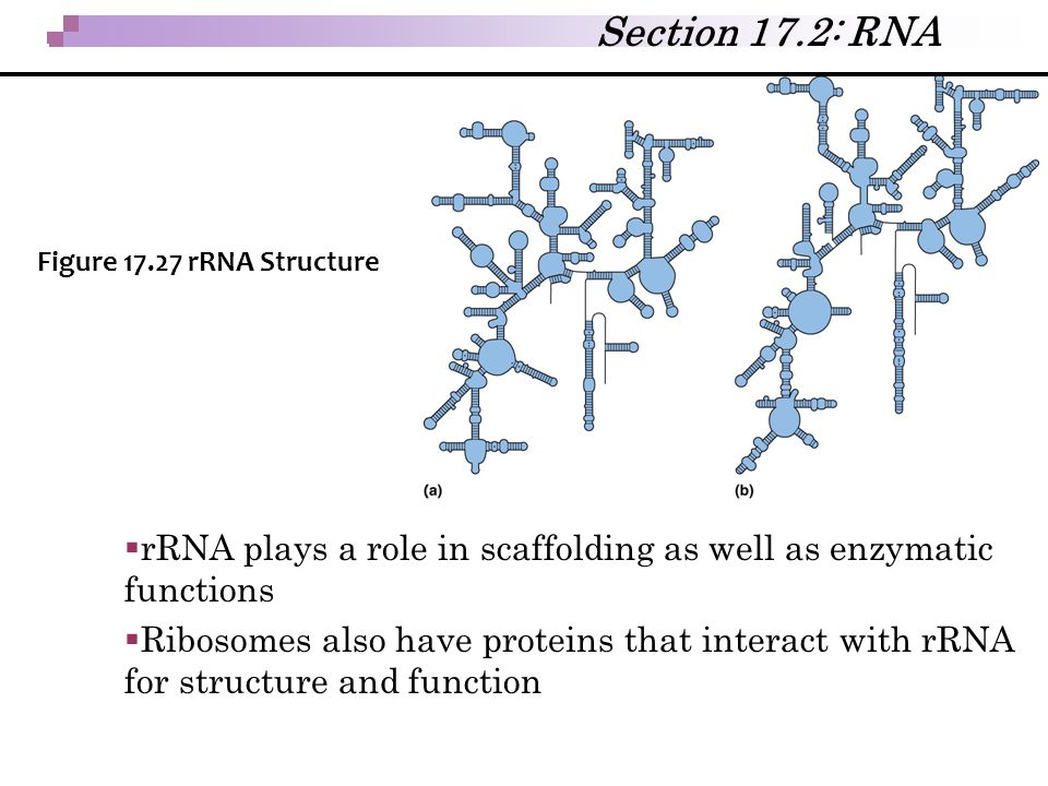 Section 17.2: RNA Figure 17.27 rRNA Structure. rRNA plays a role in scaffolding as well as enzymatic functions.