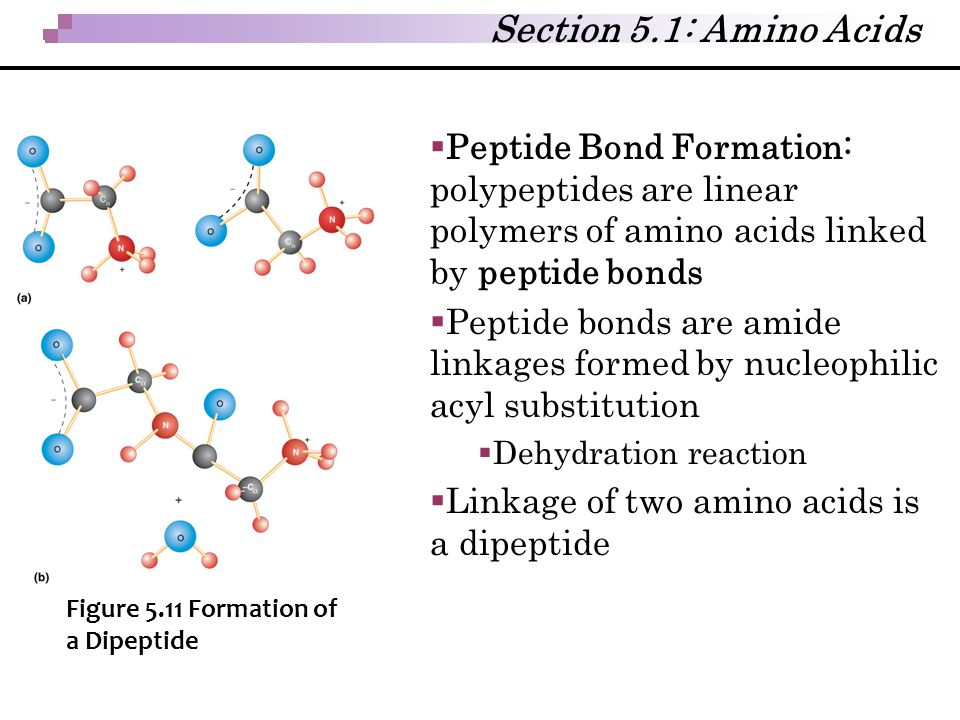 Section 5.1: Amino Acids Peptide Bond Formation: polypeptides are linear polymers of amino acids linked by peptide bonds.
