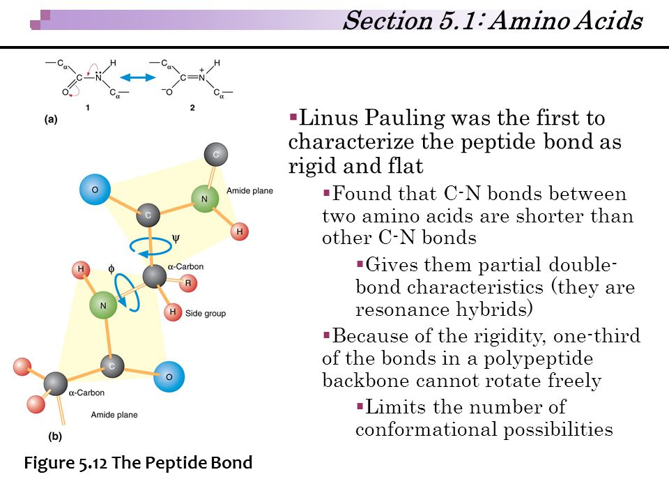 Section 5.1: Amino Acids Linus Pauling was the first to characterize the peptide bond as rigid and flat.