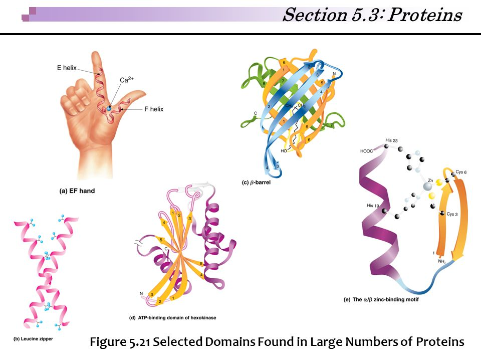 Section 5.3: Proteins Figure 5.21 Selected Domains Found in Large Numbers of Proteins