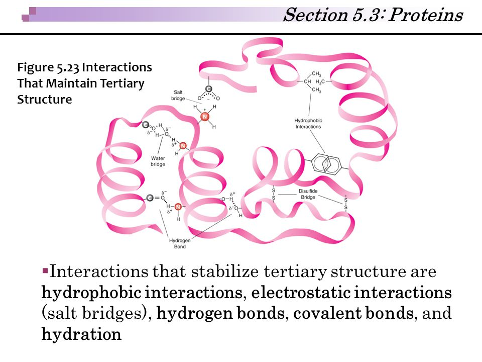 Section 5.3: Proteins Figure 5.23 Interactions That Maintain Tertiary Structure.