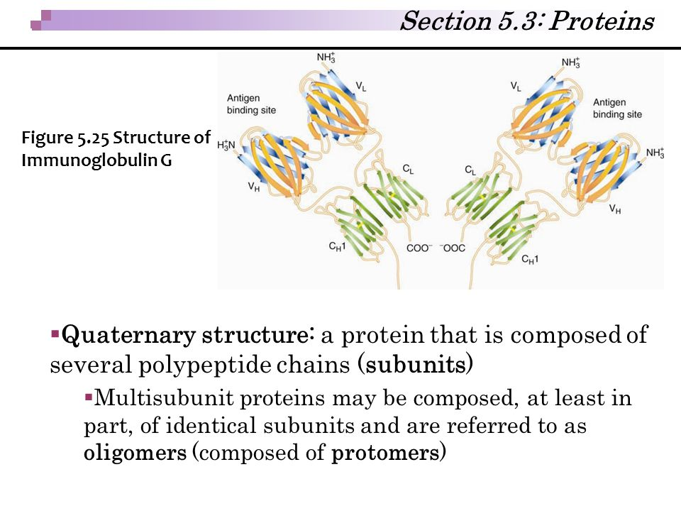 Section 5.3: Proteins Figure 5.25 Structure of Immunoglobulin G.