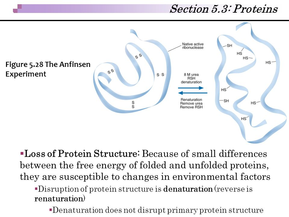 Section 5.3: Proteins Figure 5.28 The Anfinsen Experiment.