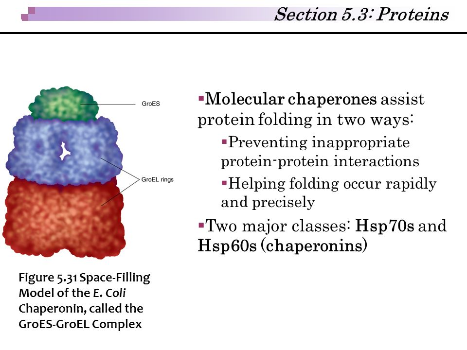Section 5.3: Proteins Molecular chaperones assist protein folding in two ways: Preventing inappropriate protein-protein interactions.
