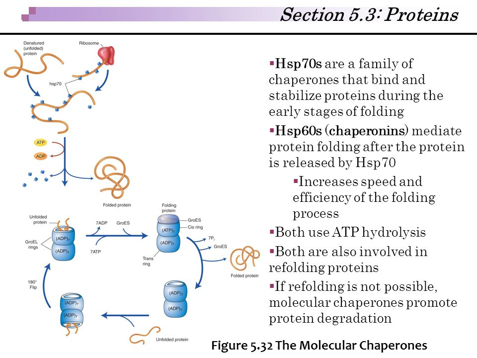 Section 5.3: Proteins Hsp70s are a family of chaperones that bind and stabilize proteins during the early stages of folding.
