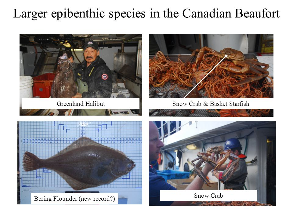 Larger epibenthic species in the Canadian Beaufort