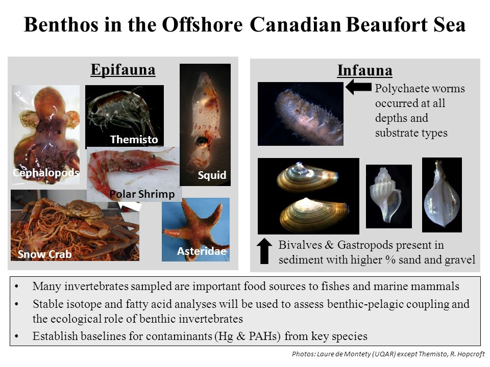 Benthos in the Offshore Canadian Beaufort Sea