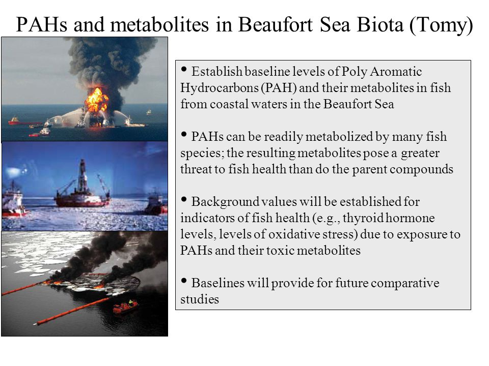 PAHs and metabolites in Beaufort Sea Biota (Tomy)