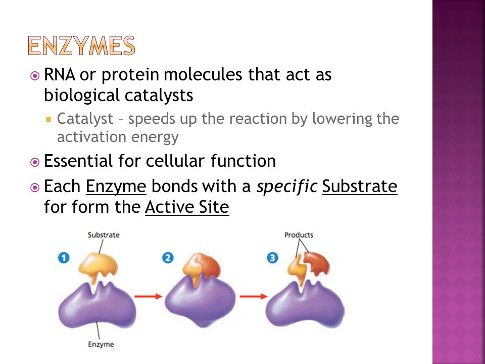 ENZYMES RNA or protein molecules that act as biological catalysts