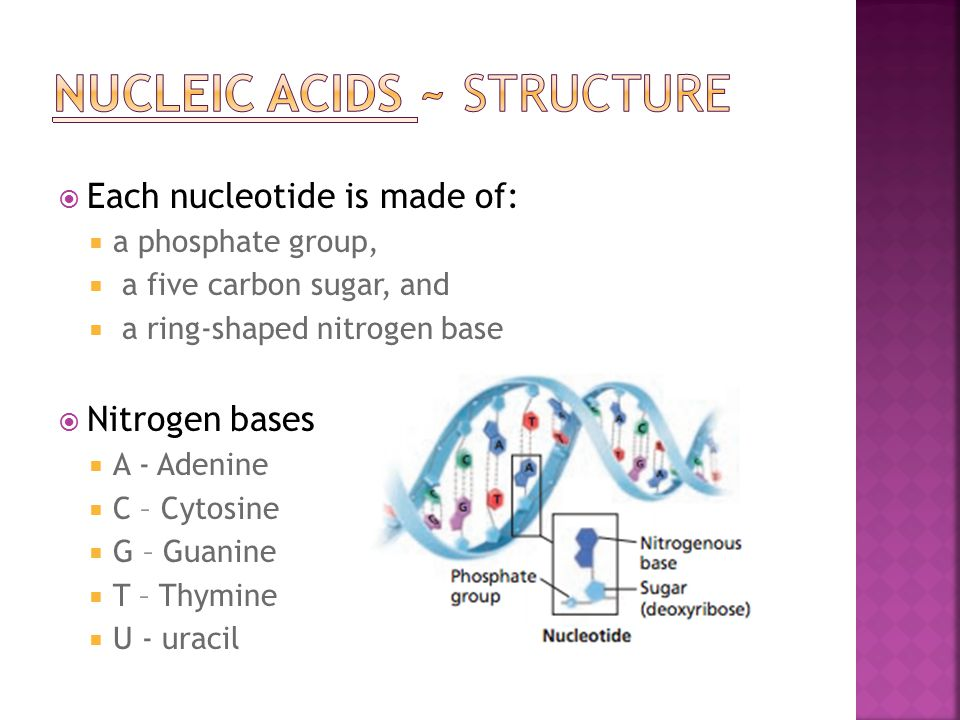 NUCLEIC ACIDS ~ structure