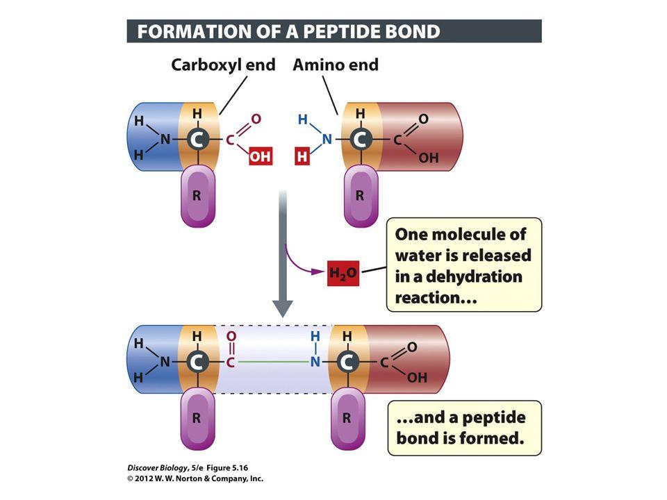 Figure 5.16 Peptide Bonds Link Amino Acids