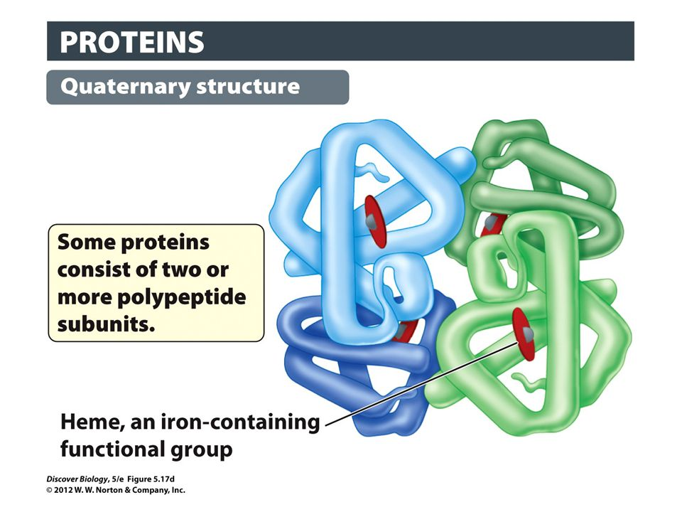 Figure 5.17d The Four Levels of Protein Structure: Quaternary Structure