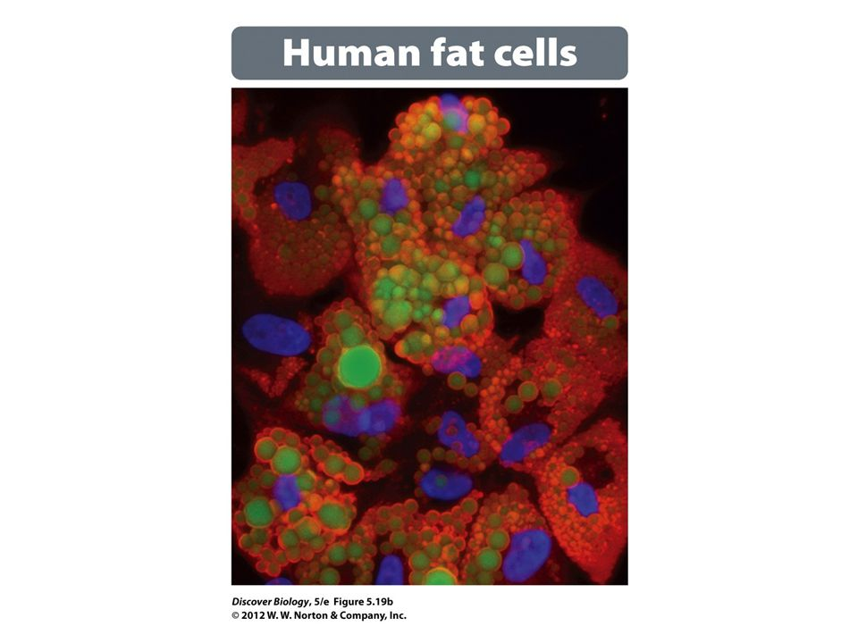 Figure 5.19b Triglycerides Contain Three Fatty Acids Bound to a Glycerol: Human Fat Cells