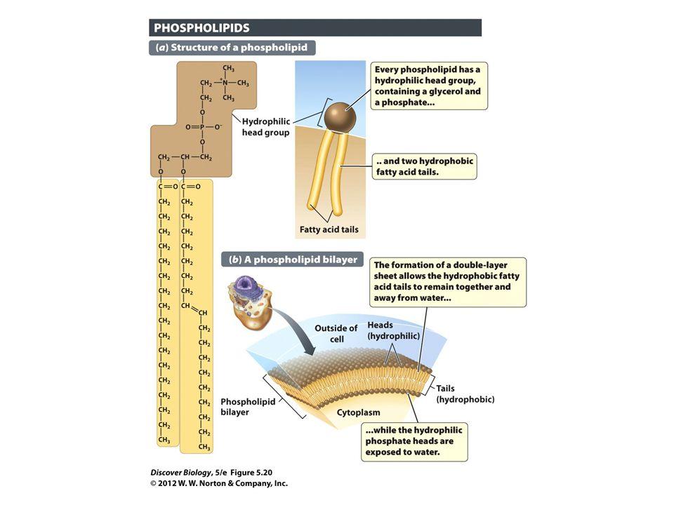 Figure 5.20 Membranes Contain Double Sheets of Phospholipids