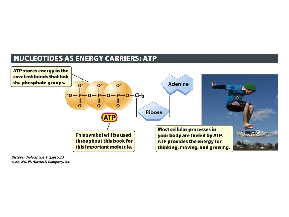 Figure 5.23 The Nucleotide ATP Serves as an Energy Carrier in Every Living Cell