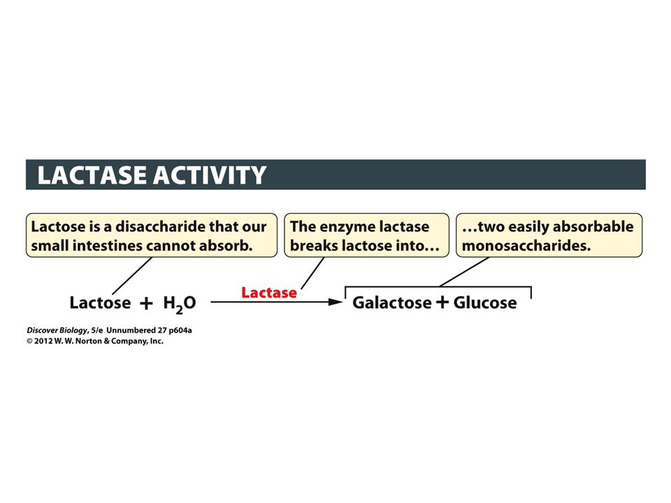 Figure 1 Digestion of Lactose by Lactase