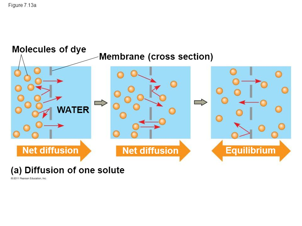 Membrane (cross section)