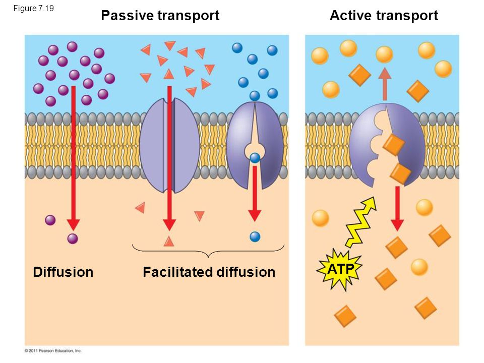 Facilitated diffusion ATP