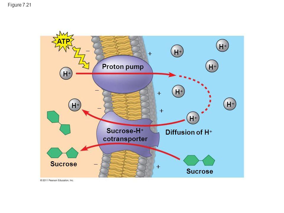 Sucrose-H cotransporter